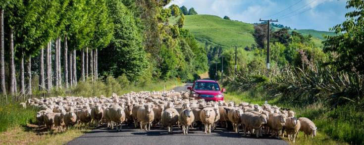 SP_ImageCrossFade/sheep-credit-www.manawatunz.co_.nz_.jpg